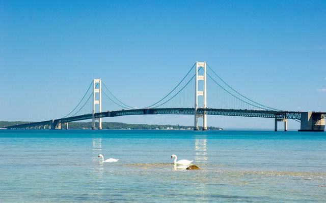 Swans swimming near the Mackinac Bridge in Michigan. Handout via REUTERS